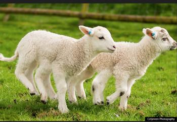 6本足羊2.png